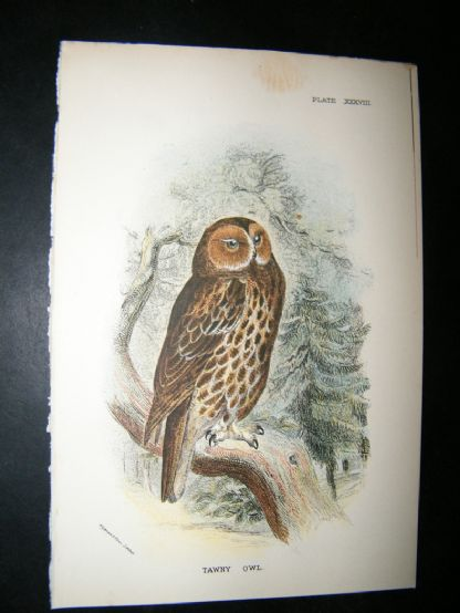 Allen 1890's Antique Bird Print. Tawny Owl | Albion Prints